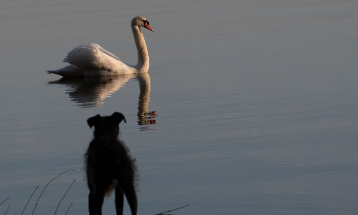 In this file image, a dog watches a swan swimming on lake Wannsee in Berlin on Feb. 25, 2019. (Paul Zinken/AFP/Getty Images)