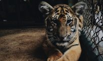 Circus Tigers Kill World Famous Tamer, Then 'Play' With Dead Body