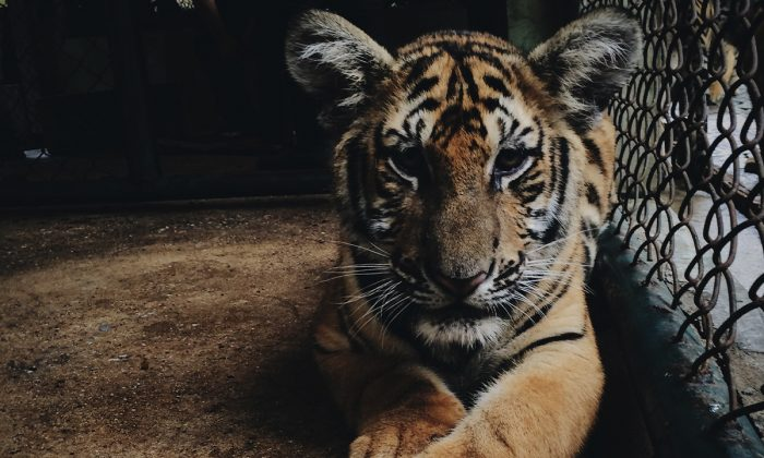 A caged tiger. (Paula Borowska/ Unsplash)