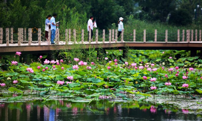 A lotus pond in China. (STR/AFP/Getty Images)