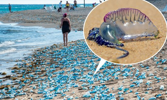 Benidorm Beaches Close After Deadly Portuguese 'Man o' War' Jellyfish Stings 7 People