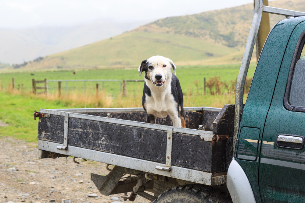 Stop Putting Your Dogs In Truck Beds It Takes Over