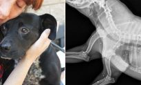 Timid Dog Goes for Checkup, Then Vets Find the Saddest Truth About Her Past in X-Ray
