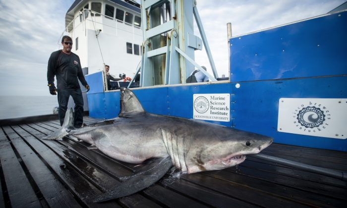"The 10-foot, 800-pound shark dubbed ""Miss May"" onboard a research vessel. (OCEARCH)"