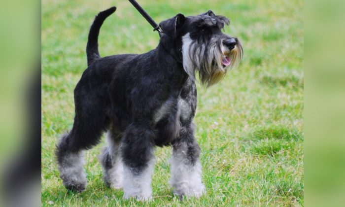 Stock photo of a miniature Schnauzer. (Lilly M/Wikimedia Commons/CC BY-SA 3.0 ept.ms/2Bw5evC)
