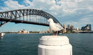 Australian Seagulls Could Carry Drug-Resistant Superbugs, Study Finds