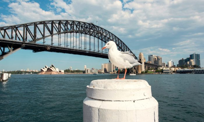 This file photograph shows a seagull siting in the sunshine with the city background on April 9, 2018 in Sydney, Australia. (James D. Morgan/Getty Images)