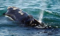 Poor Weather Foils Search Efforts for Entangled North Atlantic Right Whales