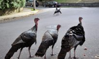 Once Driven Near Extinction, Wild Turkeys Making Themselves at Home in Quebec