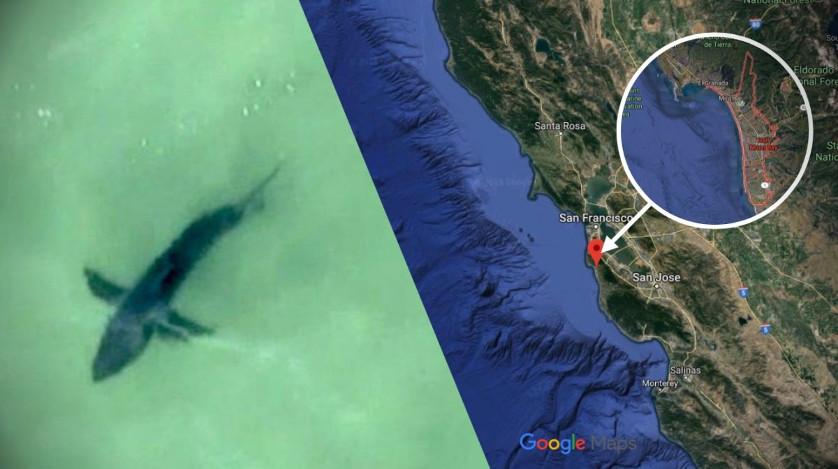Great White Sharks Spotted Off California S Half Moon Bay
