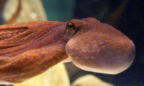 Divers Capture Footage of Shimmering 'Blanket Octopus' Underwater, Leaving the Internet Stunned