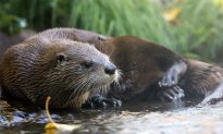 Beloved Otto the Otter Dies After Eating Human Food Tossed Into Enclosure by Visitor
