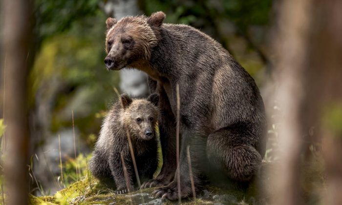 Undated file photo of a mother bear and her cub at Mount Waddington, Canada. (Thomas Lipke/Unsplash)
