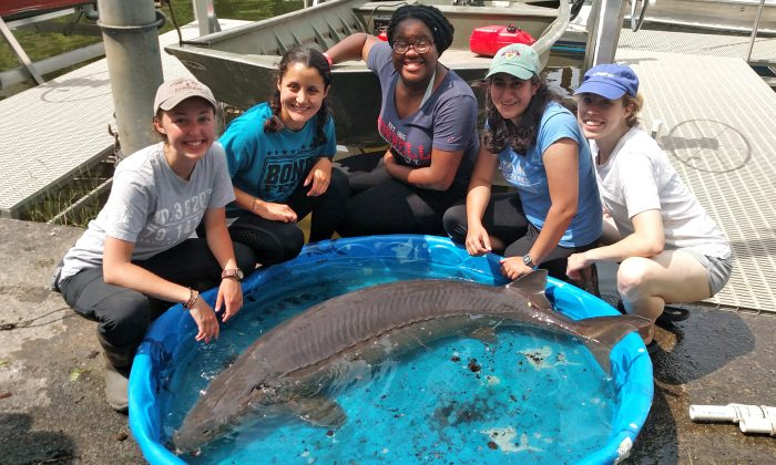 Researchers from Cornell University Biological Field Station with a 139 pound sturgeon caught at Oneida Lake, N.Y., on June 19, 2019. (Courtesy of Cornell University Biological Field Station)