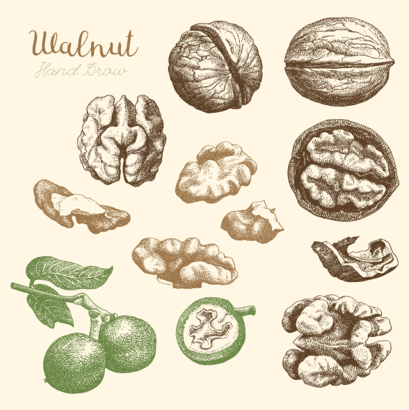 Hand-drawn sketch of walnuts - Vector