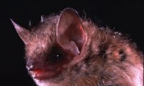 Man Dies of Viral Rabies Infection After Contact With a Bat