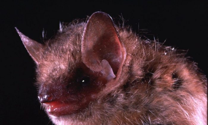 This is an undated closeup photo of the eastern pipistrelle bat, a species that is frequently linked with human rabies cases. (Merlin D./The Canadian Press/AP)