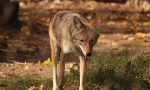 Coyote Kills Pet Dog in LA Home After Entering Through Dog Door