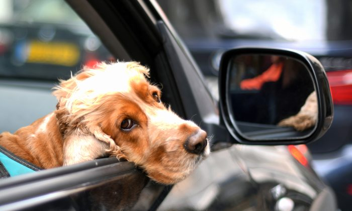 Keep pets restrained in the car; unrestrained pets can be easily injured in accidents, or cause them.(Eamonn M. McCormack/Getty Images)