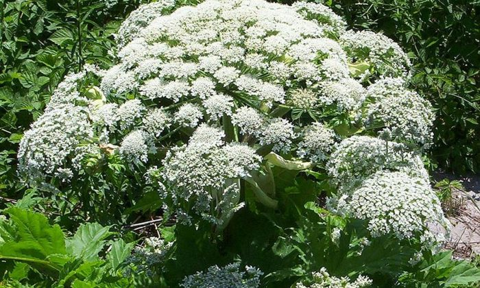 Giant hogweed (This file is licensed under the Creative Commons Attribution-Share Alike 3.0 Unported license)