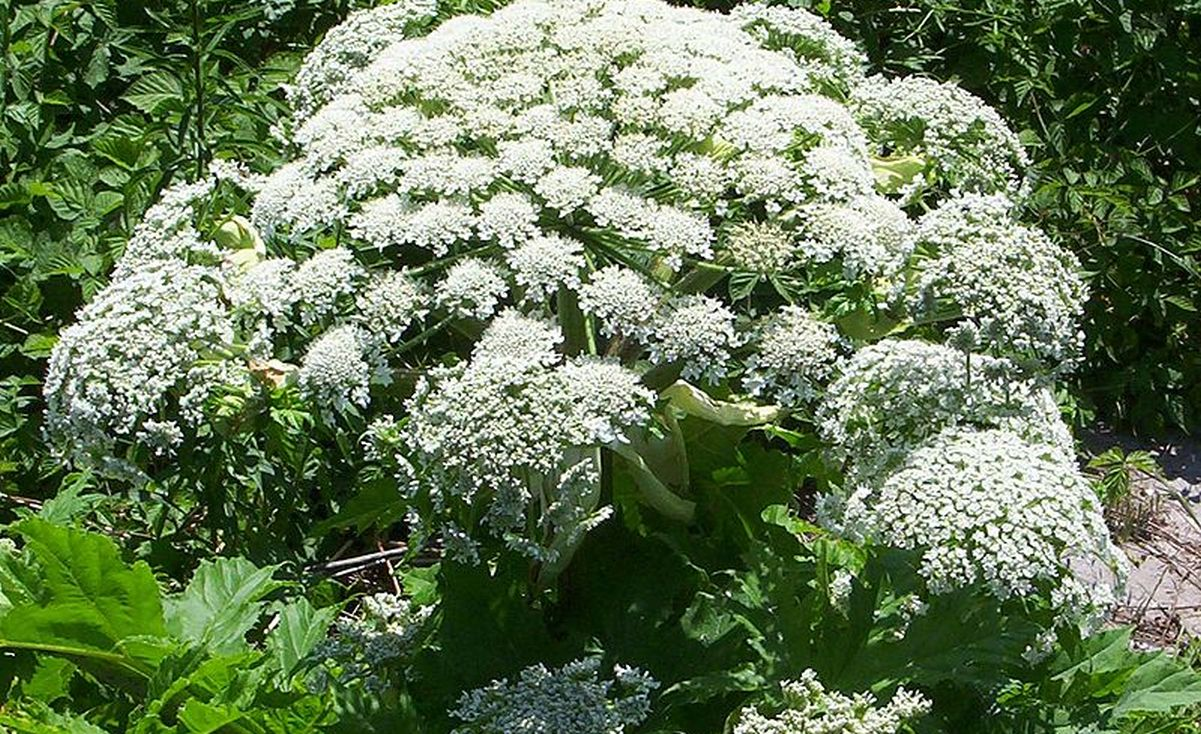 NY, Oregon Officials Issue Warnings After Giant Hogweed Found