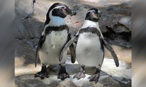 Police Remove 2 Penguins From Sushi Bar, Then They Come Back