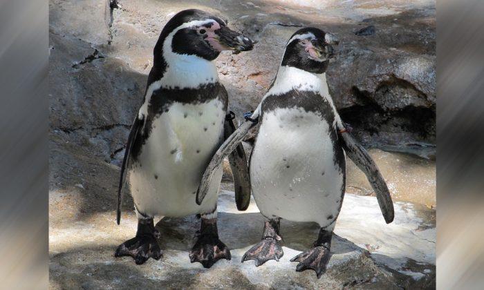 Stock image of penguins. (Skeeze/Pixabay)