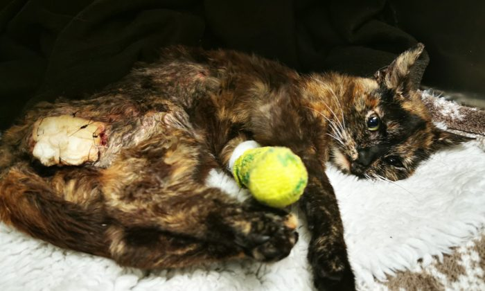 Minnie the sexually abused cat on June 2, 2019. (Photo courtesy of Rachel Butler, RSPCA)