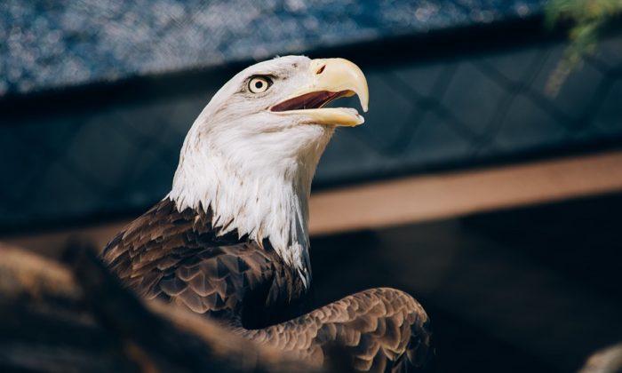 Stock image of a bald eagle. (Free-Photos/Pixabay)
