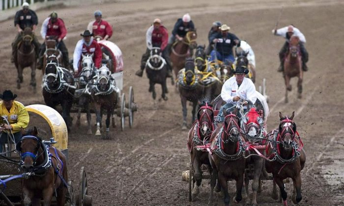 Teams compete in a chuckwagon race at the Calgary Stampede in Calgary on July 12, 2010. (Jeff McIntosh/The Canadian Press)