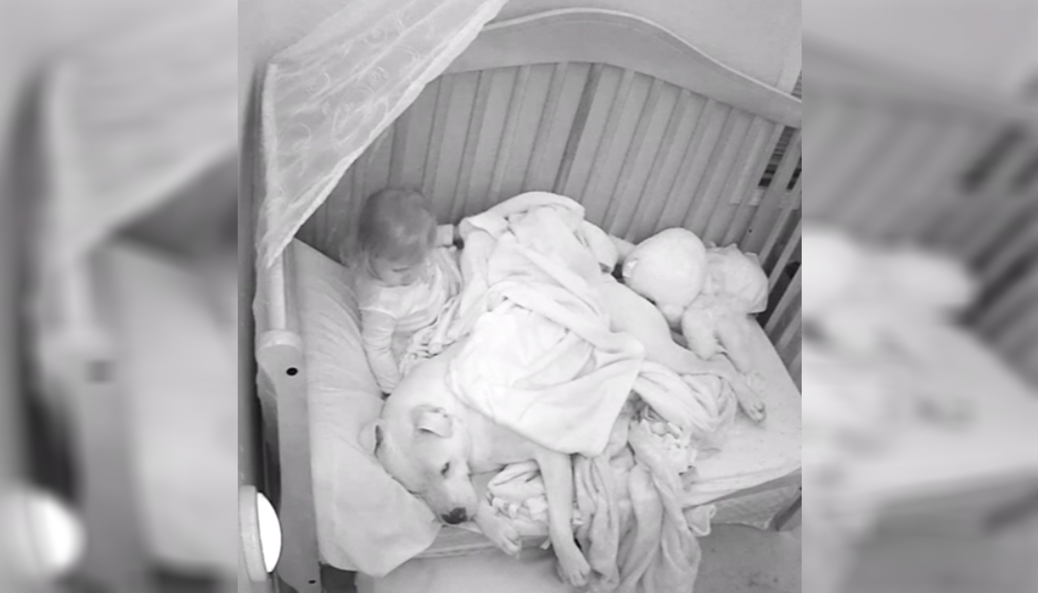 Dad Lets Scared Baby Sleep Next to 100lb Pit Bull, Nanny Cam Footage Goes Viral
