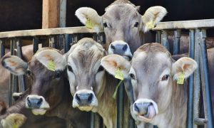 Undercover Investigation Accuses Dairy Farm of Subjecting Its Cows to Extreme Cruelty and Unsanitary Conditions