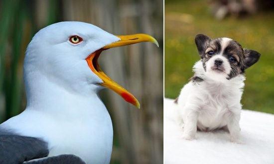 Seagull Swoops Down and Steals Chihuahua Puppy From a Garden, Search On