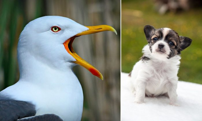 Stock image of a seagull (MabelAmber/Pixabay) and stock image of a Chihuahua (Workerin/Pixabay)