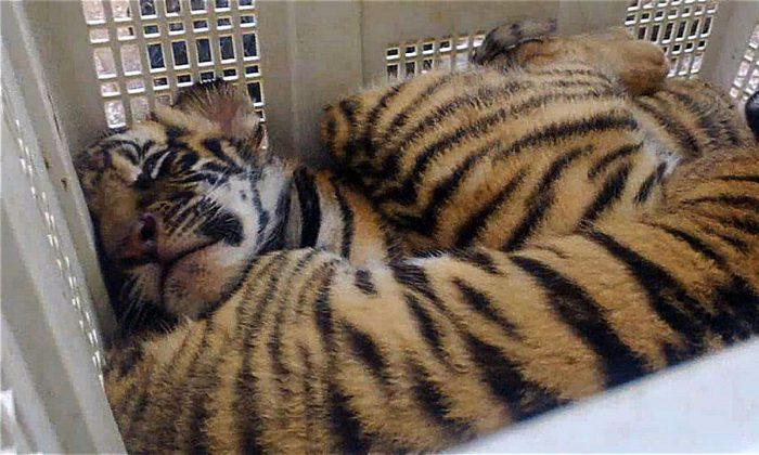 Stock image of two of four rescued tiger cubs seen inside a detained plastic box at a police station in the central province of Ha Tinh on September 4, 2012 . (STR/AFP/GettyImages)