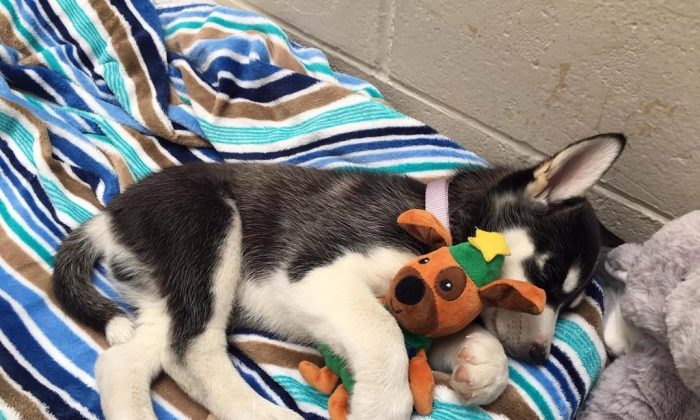The British Columbia SPCA is warning dog owners about the dangers of recreational marijuana to their pets after an 11-week old husky puppy named Bear nearly died of a drug overdose. (SPCA/The Canadian Press)