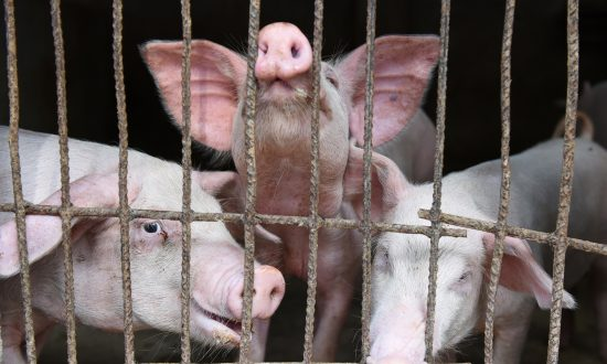 China's Pig Herd May Shrink by 50 Percent Due to African Swine Fever