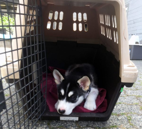 The British Columbia SPCA is warning dog owners about the dangers of recreational marijuana to their pets after an 11-week old husky puppy named Bear nearly died of a drug overdose. (SPCA)