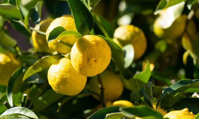 yuja korean citron on tree