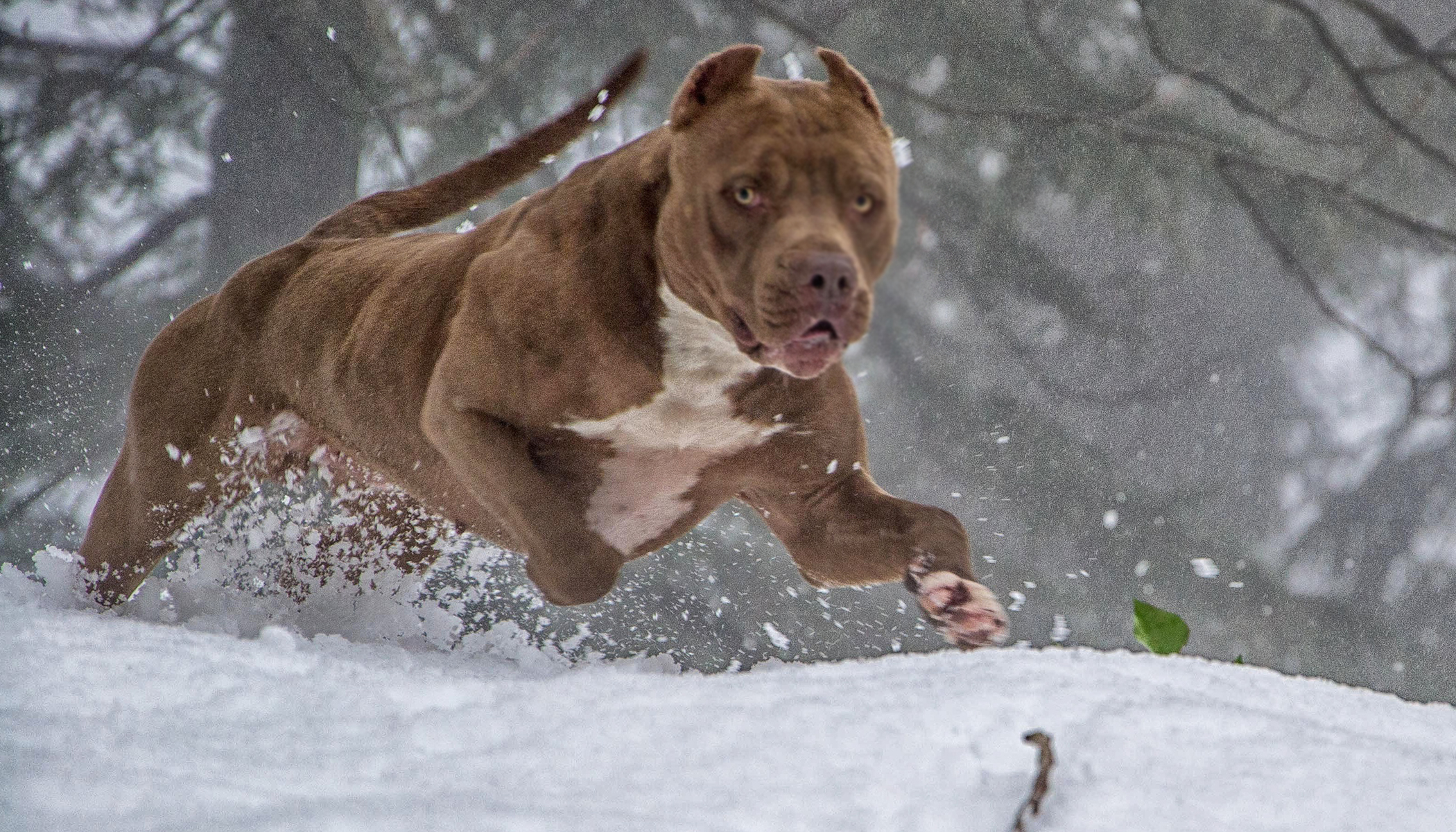 World's Famous 175lb Pit Bull Has 8 Babies, Their Selling Price Is Jaw-Dropping