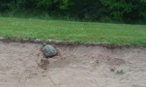 Another Reason to Avoid Bunker as Snapping Turtle Lays Eggs on N.S. Golf Course
