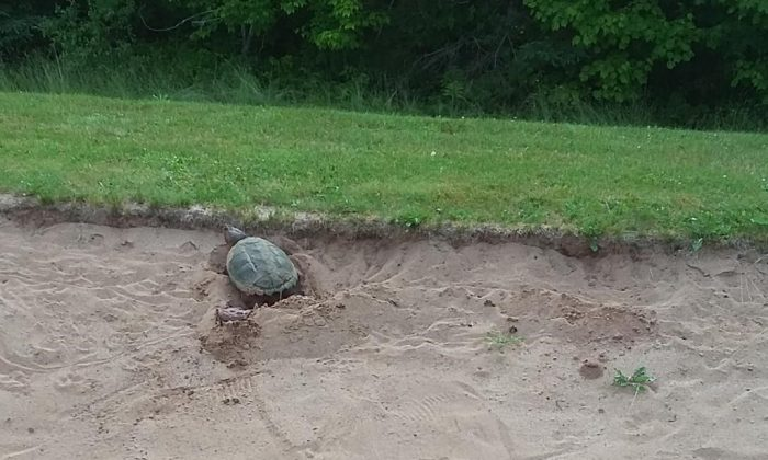 A snapping turtle named Shelley who has laid her eggs in the sand trap at the 7th hole for the second year in a row on the Debert Golf Course in Debert, N.S. is seen in this undated photo provided August 6, 2019. (HO, Mark Webb/The Canadian Press)