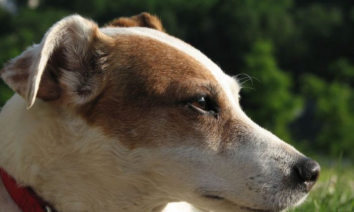 An Older Jack Russell Terrier. (sparkieg/Wikimedia Commons) [CC BY-SA 3.0 (ept.ms/2Bw5evC)]