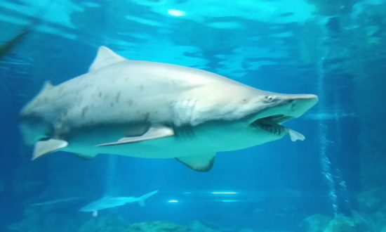 Video: People Rush Out of Water as Sharks Feed Just off Myrtle Beach