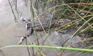 Texas Game Warden Offers $1,000 Reward for Prosecuting Alligator Tail Butcher