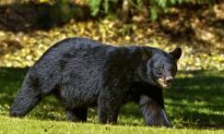Two Year Old Girl Was in Unauthorized Area When She Was Bitten by a Bear: Zoo