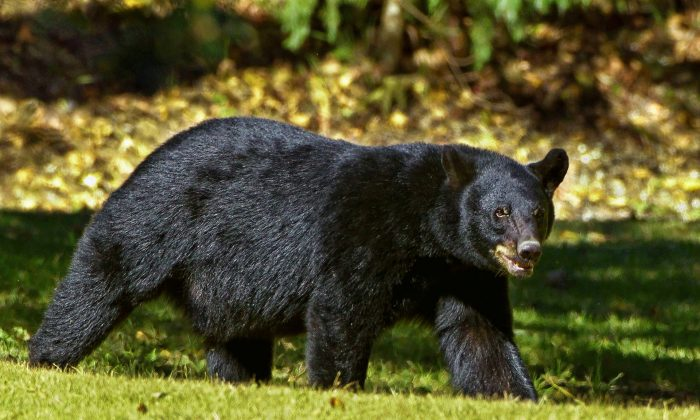 A black bear similar to the one that attacked a girl in the Greater Vancouver Zoo. (Pixabay / CCO)