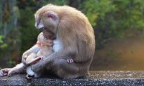 Heartbreaking Photo Shows Grief-Stricken Monkey Cradling Her 'Lifeless' Baby–Then a 'Miracle' Occurs