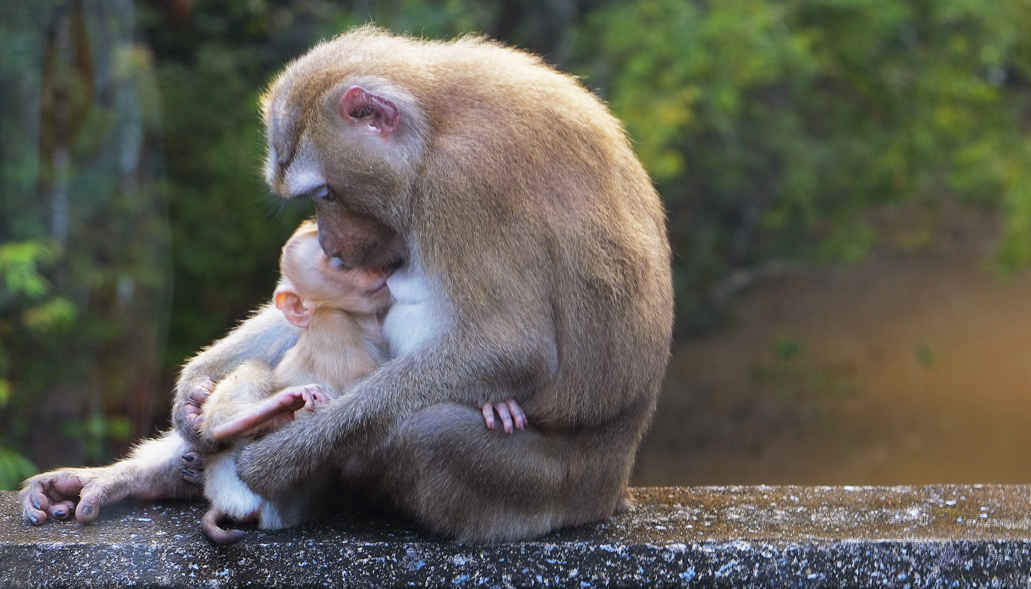 Grief-stricken Monkey Cradled Her 'Lifeless' Baby, Moments Later a Miracle Occurs