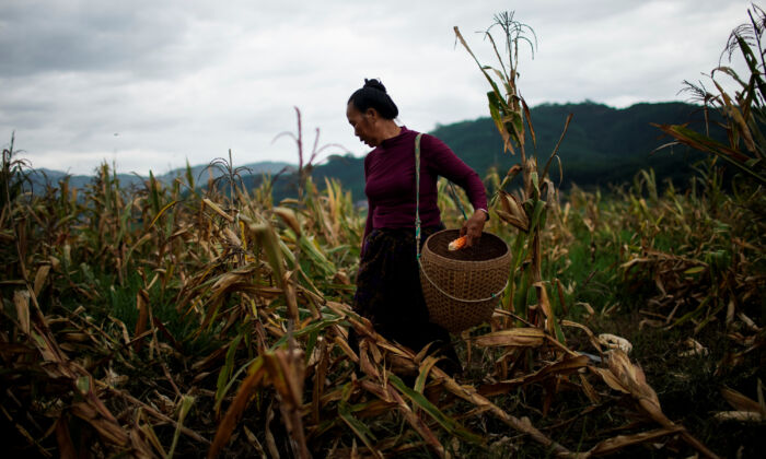 Yu Wuyang, an ethnic Dai farmer, picks corn in her cornfield at Nuodong village in Yunnan Province, China on July 13, 2019. (Aly Song/Reuters)